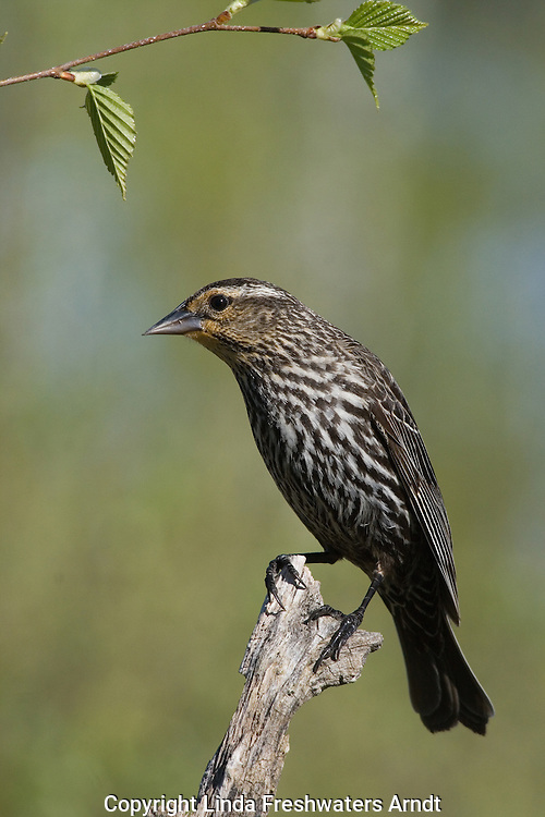 Red-winged blackbird -female