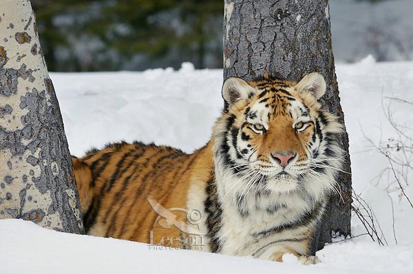 Siberian Tiger or Amur Tiger (Panthera tigris) in winter.