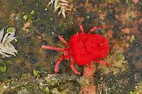 Rote Samtmilbe, Sammetmilbe,  Trombidium spec., Trombidium cf. holosericeum, Velvet mite, Red mite, Velvet mites, Landmilben,  Pflanzenmilben, Trombidiidae