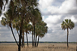 Palm trees at Myakka River State Park in Florida.