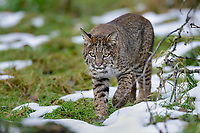 Wild Bobcat (Lynx rufus) walking along edge of field.  Olympic National Park, WA.  November.  (Completely wild, non-captive cat.)  Several day old snow patches--much has melted off.