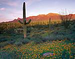 Organ Pipe Cactus Natl Mon, AZ <br /> Saguaro cactus (Cereus gigantea) & field of Poppies (Esch. californica) with late light on the distant Ajo range