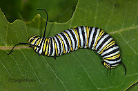MO02-501z   Monarch Caterpillar on Milkweed - Danaus plexipuss