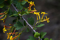 Ribes aureum, golden currant yellow flowering California native shrub