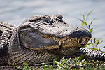 Damon, Texas; a detail, head shot of a large, American alligator resting on the bank of the slough, backlit by morning sunlight