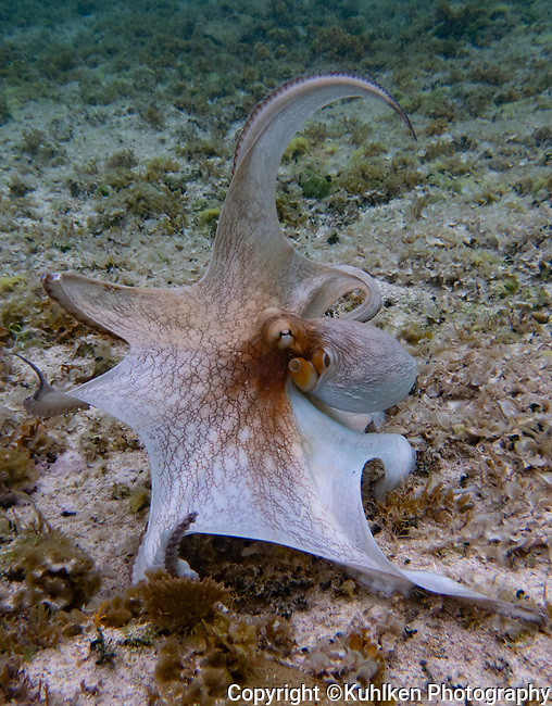 Octopus, Bahamas 2019