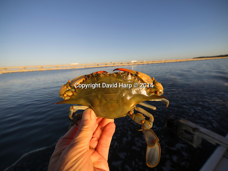 A female blue crab, with her distinctive red claws, caught by a crabbers using a trotline on the Choptank River