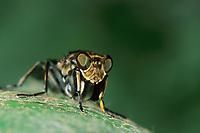 Fangfliege, Fang-Fliege, Ochthera mantis, Mantis Fly