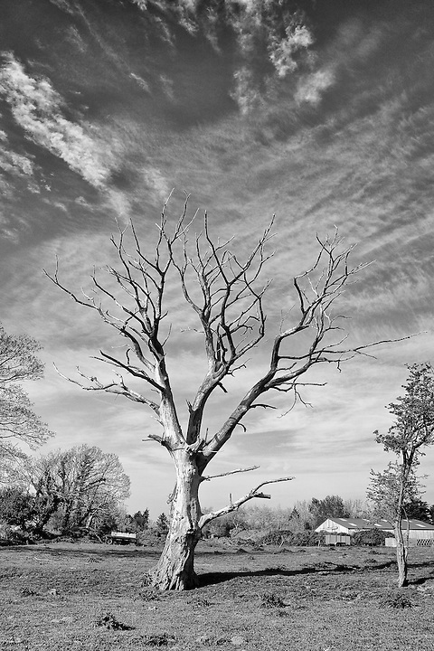Dead Tree, Les Ruettes, Jersey.