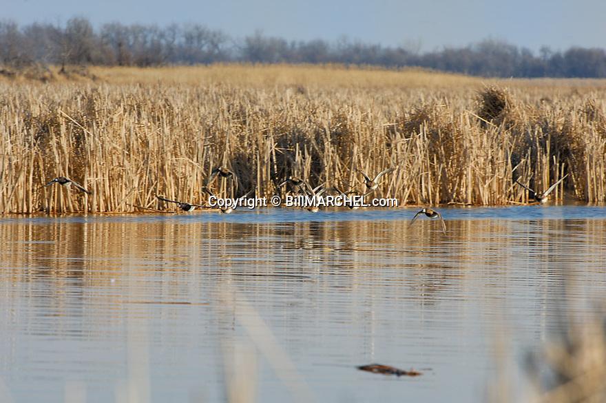 00342-006.17 Lesser Scaup (DIGITAL) flock in flight over cattail marsh. Action, fly, water, hunt, bluebill, wetland.  H1L1