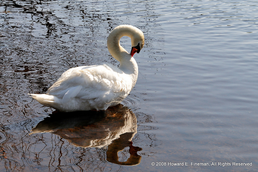 Norumbega Swan Preening