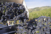 """- grape harvest at """"Marasi"""" wine farm in the province of Piacenza<br /> <br /> - raccolta dell'uva presso l' azienda agricola vitivinicola """"Marasi"""" in provincia di Piacenza"""