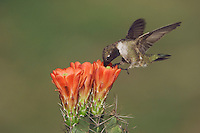 Black-chinned Hummingbird, Archilochus alexandri, male feeding on Claret Cup Cactus (Echinocereus triglochidiatus), Uvalde County, Hill Country, Texas, USA, April 2006