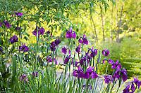 Purple flower Iris ensata (Japanese Iris) Quarryhill Botanical Garden, California summer