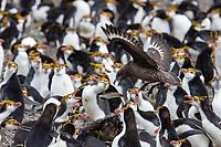 Brown Skua (Stercorarius antarcticus lonnbergi), Subantarctic subspecies, hunting over a Royal Penguin (Eudyptes schlegeli) breeding colony near Sandy Bay, Macquarie Island, Australia.