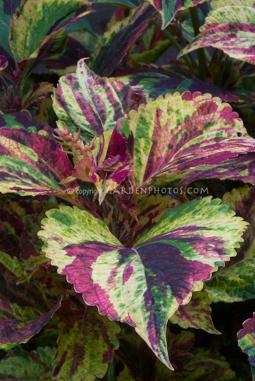 Coleus (Solenostemon) 'Combat' annual variegated foliage plant in green, yellow and red three colors patterns