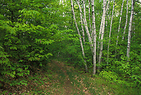 AJ4512, hiking, trail, forest, Birch trees along hiking trail in Hubbard Park in Montpelier in the state of Vermont.