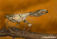 1110-0801  Malaysian Dead Leaf Mantis, Deroplatys lobata © David Kuhn/Dwight Kuhn Photography.