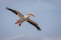 American White Pelican in breeding colors, gliding in flight