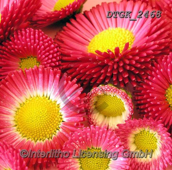 Gisela, FLOWERS, BLUMEN, FLORES, photos+++++,DTGK2468,#f#, EVERYDAY