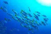 School of Burrito Grunt (Anisotremus interruptus), underwater view, Ecuador, Galapagos Archipelago,