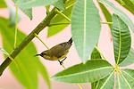 Copper Sunbird (Cinnyris cupreus) female, Lope National Park, Gabon