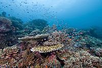 Coral reef, Sipadan Island, Malaysia.