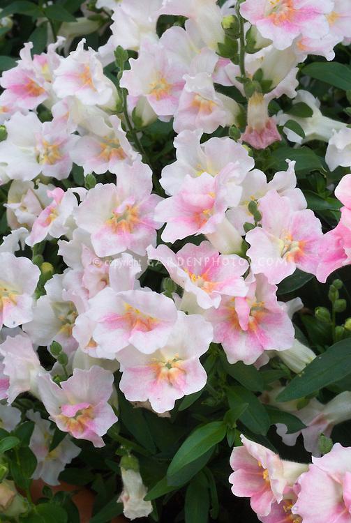 Antirrhinum 'Twinny Appleblossom' pale blush pink annual snapdragon flowers
