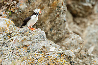 Horned Puffin perched on rock with fish in its beak on Duck Island in Cook Inlet, Southcentral, Alaska<br /> <br /> Photo by Jeff Schultz/  (C) 2019  ALL RIGHTS RESERVED<br /> <br /> Into the Wild Photo Tour Amazing Views