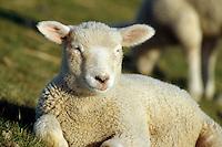 Deutschland, Schleswig-Holstein, Schafe in der Wedeler Marsch