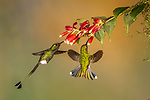 Ecuador, Andean cloud forest, white-booted racket-tail (Ocreatus underwoodii) male and female