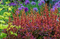 Berberis thunbergii 'O'Byrne'. Sunjoy® Tangelo Barberry shrub, orange new foliage in spring, barberry shrub, O'Byrne Garden