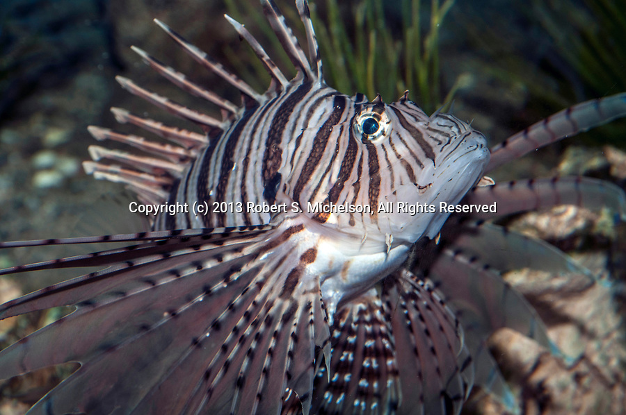 Red Lionfish swimming right