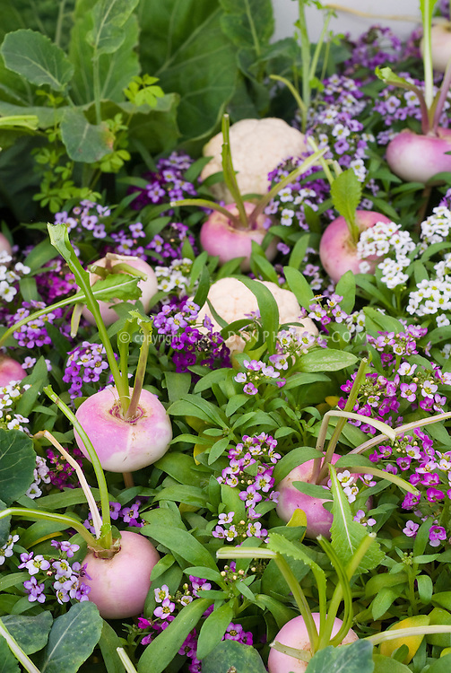 Pink Turnips, cauliflower, vegetables and purple, pink and white sweet alyssum Lobularia flowers growing together intermixed for a pretty color theme