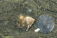 1Y37-003b  shell on beach with sand dollar