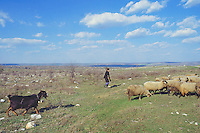 Bulgaria. Province Oblast Lovech. Just outside Lukowit. A shepherd, a goat and sheeps in the fields. © 1997 Didier Ruef