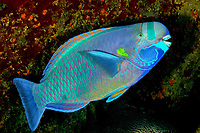 spectacled parrotfish, terminal phase, endemic, Chlorurus perspicillatus, Midway Atoll, Papahanaumokuakea Marine National Monument, Northwestern Hawaiian Islands, Hawaii, USA, Pacific Ocean Endemic to Hawaii