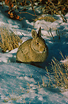 Bunny sitting in snow in North America.