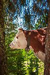 Italien, Suedtirol (Trentino - Alto Adige), Dolomiten, Groednertal, oberhalb Wolkenstein in Groeden: Kuehe waren einmal Waldtiere | Italy, South Tyrol (Trentino - Alto Adige), Dolomites, Val Gardena, abover Selva di Val Gardena: cow in forest