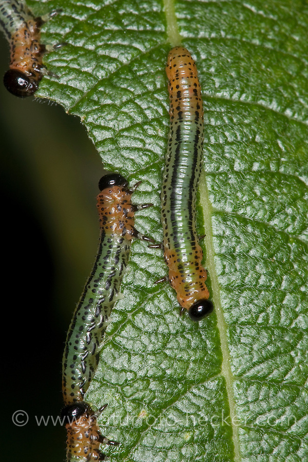 Weiden-Blattwespe, Weidenblattwespe, Larven, Larve der Blattwespe fressen an einem Weidenblatt, Weide, Pteronus salicis, Pteronidea salicis, Nematus salicis, willow sawfly