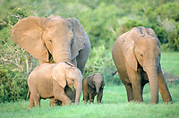 African elephants (Loxodonta africana) with calves, Chobe Waterfront, Chobe National Park, North-West District, Botswana, Africa
