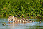 Wild male Jaguar (Panthera onca palustris) wading through the shallows of a backwater of the Cuiaba River in late afternoon sun light. Northern Pantanal, Brazil.