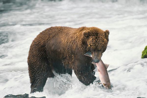 Coastal grizzly catching salmon.  Katmai National Park, Alaska.  Sept.