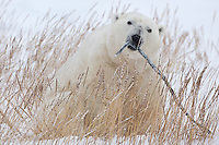 Polar Bear holding a branch in its mouth