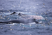 Humpback whales Megaptera novaeangliae feeding showing expanded throat pleats. Kvitøya, Arctic ocean
