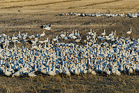 Snow Geese (Chen caerulescens) feeding in field, Lower Klamath NWR, Oregon/California.  Feb-March.