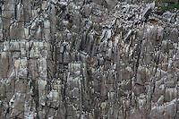 The seabird breeding cliffs of Preobrezhaniya, eastern Russia