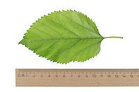 Weißer Maulbeerbaum, Weiße Maulbeere, Morus alba, white mulberry, Silkworm mulberry, Le Mûrier blanc, Mûrier commun, Maulbeergewächse, Moraceae. Blatt, Blätter, leaf, leaves