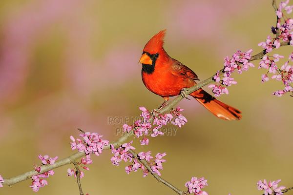 Northern Cardinal (Cardinalis cardinalis), male on Eastern Redbud (Cercis canadensis), Dinero, Lake Corpus Christi, South Texas, USA