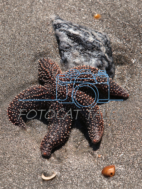 A starfish on Folly Beach, South Carolina on Monday, March 9, 2015. <br /> Photo by Cathleen Allison